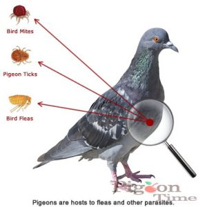 Do not treat pigeon infestations alone.